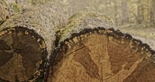 Arvenholz